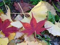 地面に落ちた紅葉(モモジ)の葉とイチョウの葉