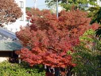 秋の紅葉とモミジの木