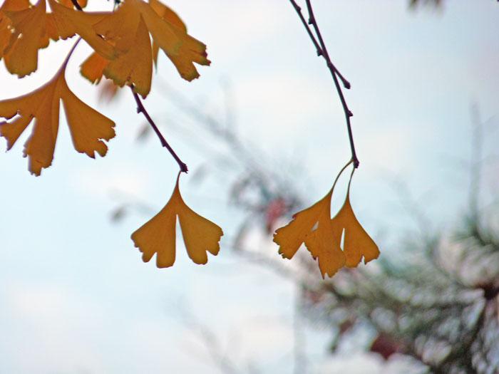 秋の紅葉と黄色い銀杏(イチョウ)の葉3枚の拡大写真