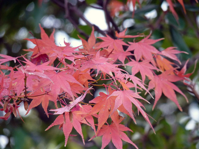 秋のモミジと自然の拡大写真