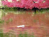 池に映った紅い紅葉
