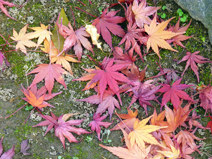 地面に落ちた秋とモミジの拡大写真