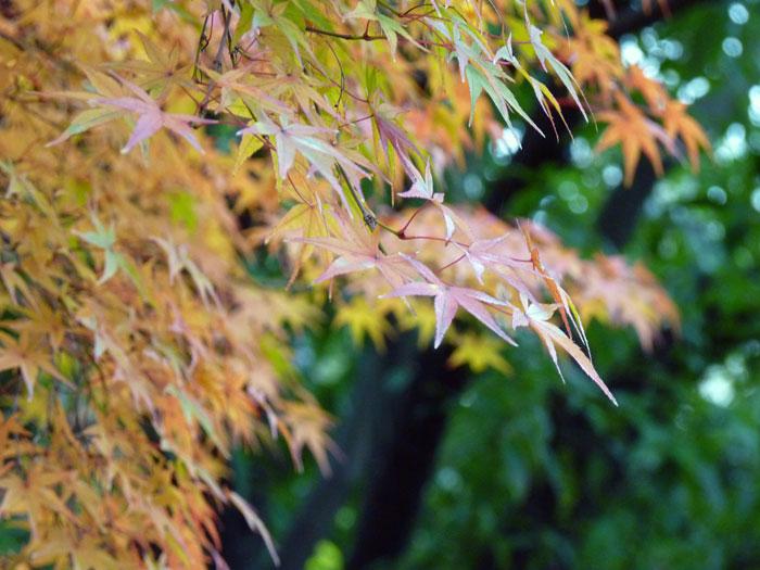 綺麗な黄色の紅葉と自然の拡大写真
