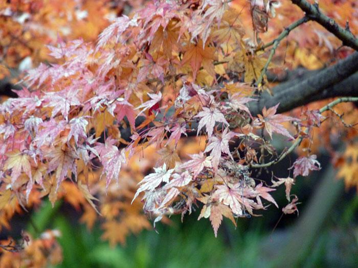 いろとりどりのモミジの葉の拡大写真