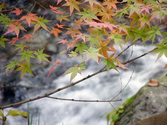 綺麗なモミジと自然の滝と川2の拡大写真