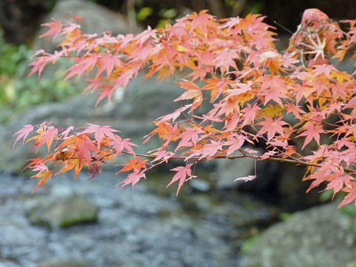 綺麗な紅葉と後ろで流れる小川2の拡大写真