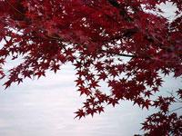 沢山のモミジの葉と空と秋
