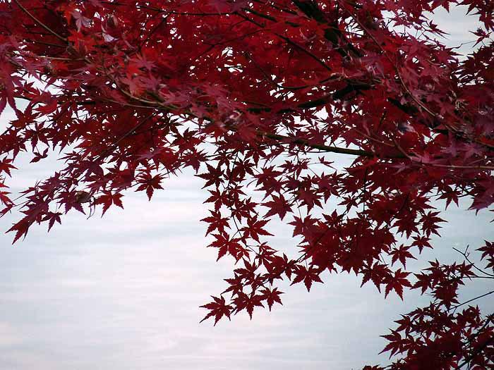 沢山のモミジの葉と空と秋の拡大写真