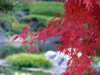 紅いモミジの葉と緑の景色