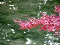 ピンクのモミジと光る水の景色