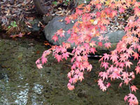 ピンクのモミジと川と石