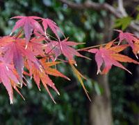 秋と赤い紅葉(もみじ)の葉