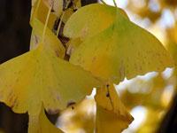 黄色い銀杏(イチョウ)の葉