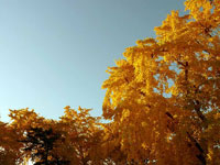 黄色いイチョウと青い空