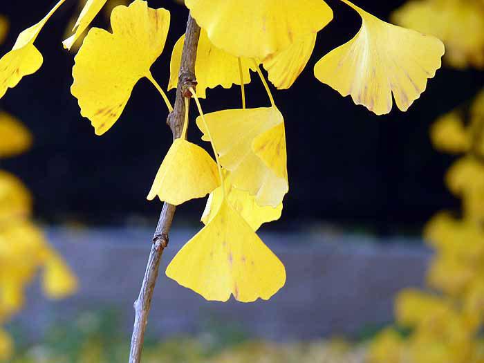 きれいな黄色のイチョウの葉の拡大写真