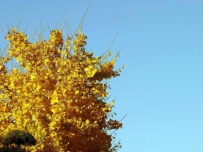 綺麗な青い空とイチョウの木の拡大写真