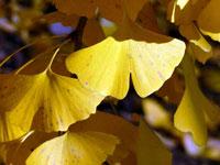 光にあたったイチョウの葉