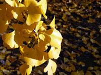 縦に伸びるイチョウの葉と地面に落ちた秋
