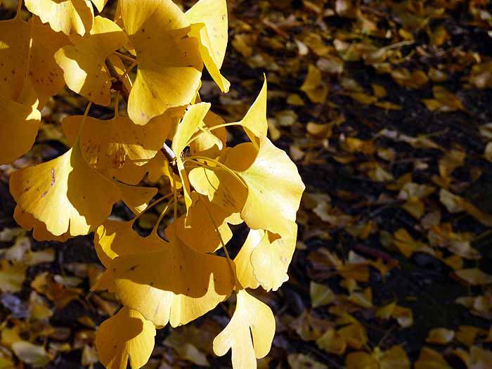 縦に伸びるイチョウの葉と地面に落ちた秋の拡大写真