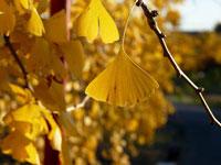 黄色の景色とイチョウの葉