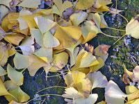 秋と地面に落ちたイチョウの葉