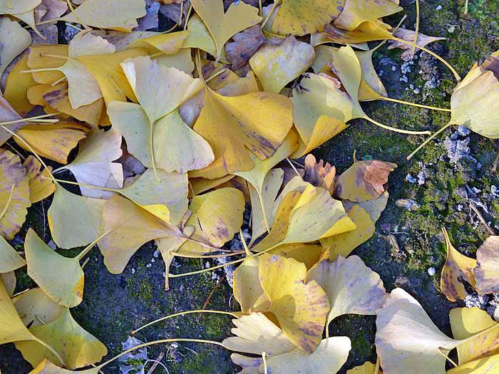 秋と地面に落ちたイチョウの葉の拡大写真