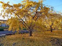 光があたったイチョウの木と地面に落ちた秋の風景