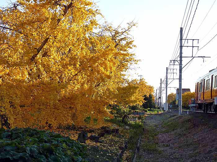 イチョウの木と線路の風景の拡大写真