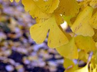 イチョウの葉と紫の背景