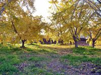 奥にさす光とイチョウの木々の風景