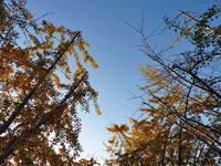 見上げるイチョウの木と青い空の風景