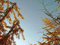 見上げるイチョウの木と水色の空の景色