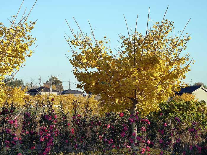 イチョウの木とピンクの花の景色の拡大写真