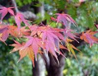 秋と紅葉(もみじ)の木と緑の背景