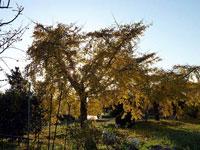 イチョウの木の奥にさす光の風景
