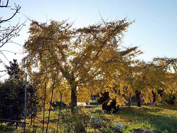 イチョウの木の奥にさす光の風景の拡大写真