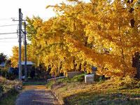 きれいに黄色に輝くイチョウの木と線路の風景