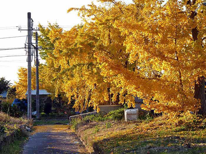 きれいに黄色に輝くイチョウの木と線路の風景の拡大写真