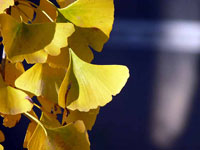 光とイチョウの葉と青い背景