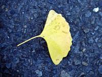 道路に落ちたイチョウの葉と秋