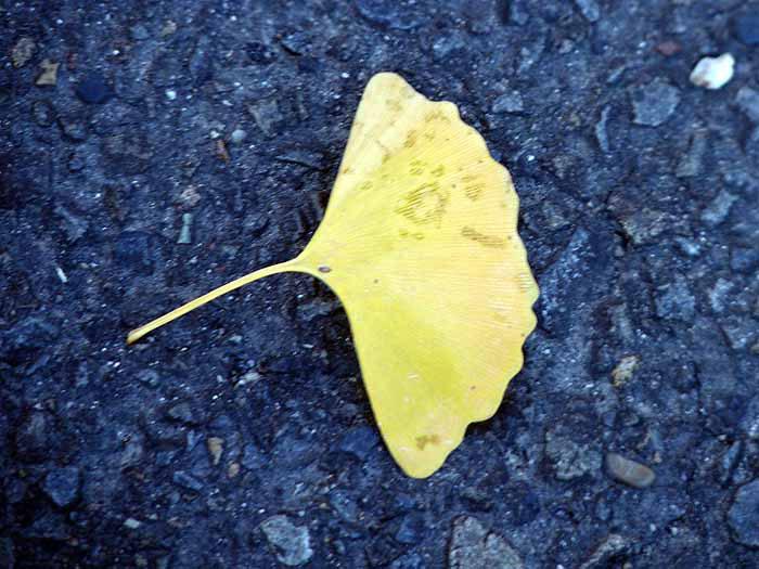 道路に落ちたイチョウの葉と秋の拡大写真