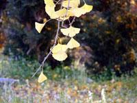 垂れ下がるイチョウの葉たちと緑の景色
