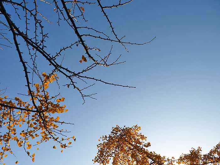 青と白の空と下から見上げるイチョウの木の風景の拡大写真
