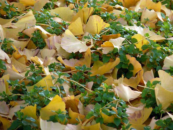 地面に落ちたイチョウと秋の拡大写真