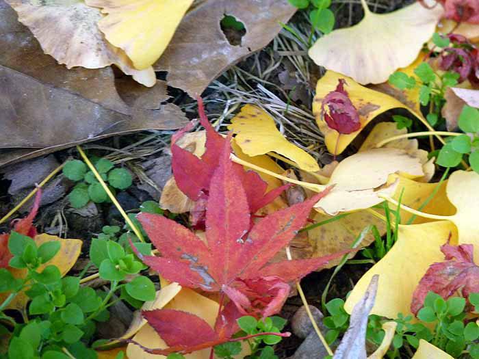 地面に落ちた秋(紅葉とイチョウ)の拡大写真