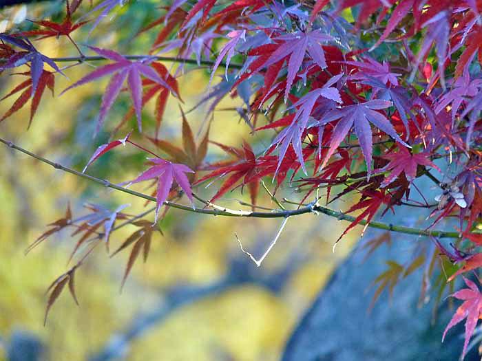 綺麗な赤紫のモミジの葉と秋の拡大写真
