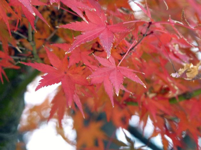 きれいな紅葉(もみじ)の葉の拡大写真
