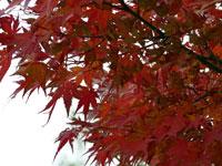 赤く綺麗な紅葉とモミジ