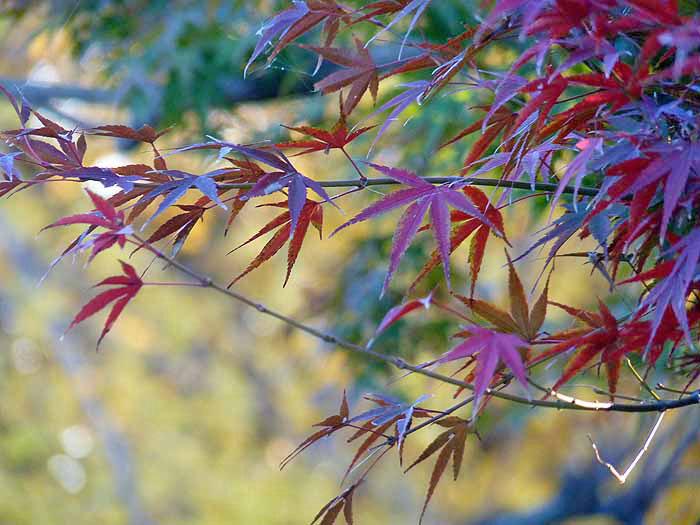 たくさんの赤紫のモミジの葉の拡大写真