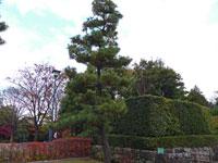 大きな松の木と植物